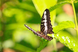 Clipper - parthenos sylvia