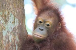 Orangutan at Sepilok