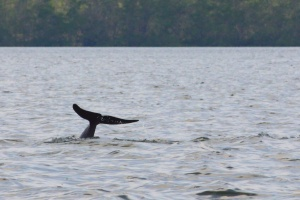 Irrawaddy dolphin doing whale impression