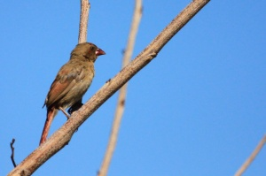 Juvenile crimson finch?