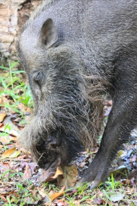 Bearded boar