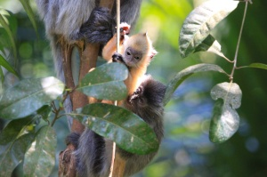 Silver leaf monkeys