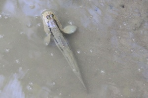 Mudskipper in water