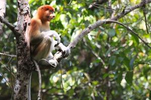 Female proboscis monkey