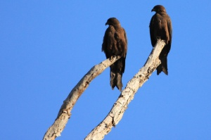 Pair of black kites