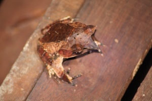 Horn frog