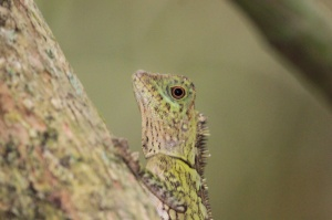 Angle-headed lizard