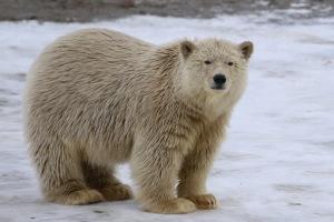 Just a big teddy bear